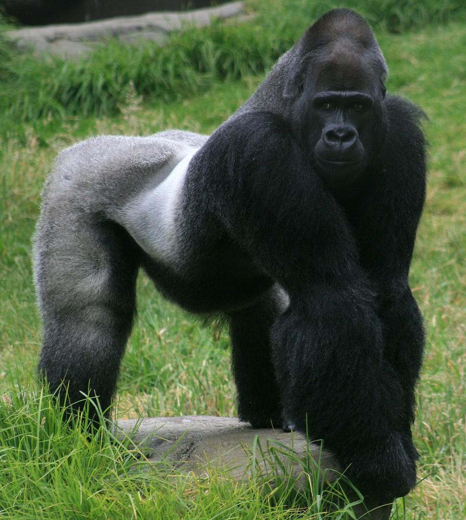 silverback-gorilla-car